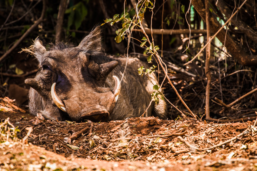 Not the prettiest of the bunch but this Warthog is still just as important to the whole Nairobi National Park ecosystem.