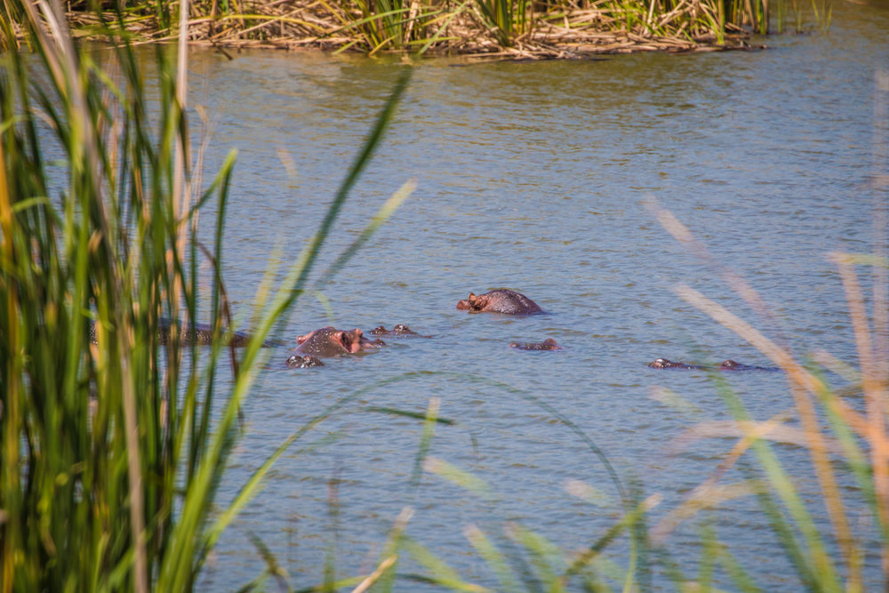 This is all we saw of the hippopotamus', they do seem to have pretty cute ears though!