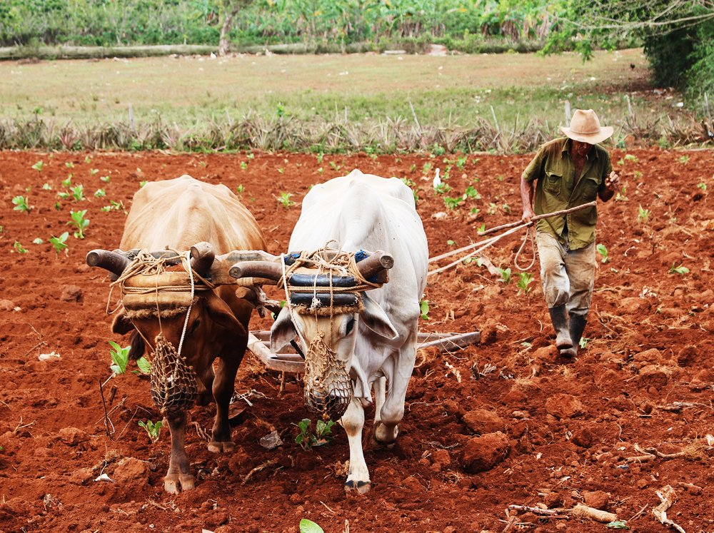plowing a field, posing his cows, and smoking a cigar — impressive
