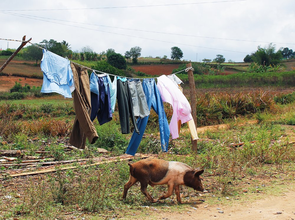 pig and laundry