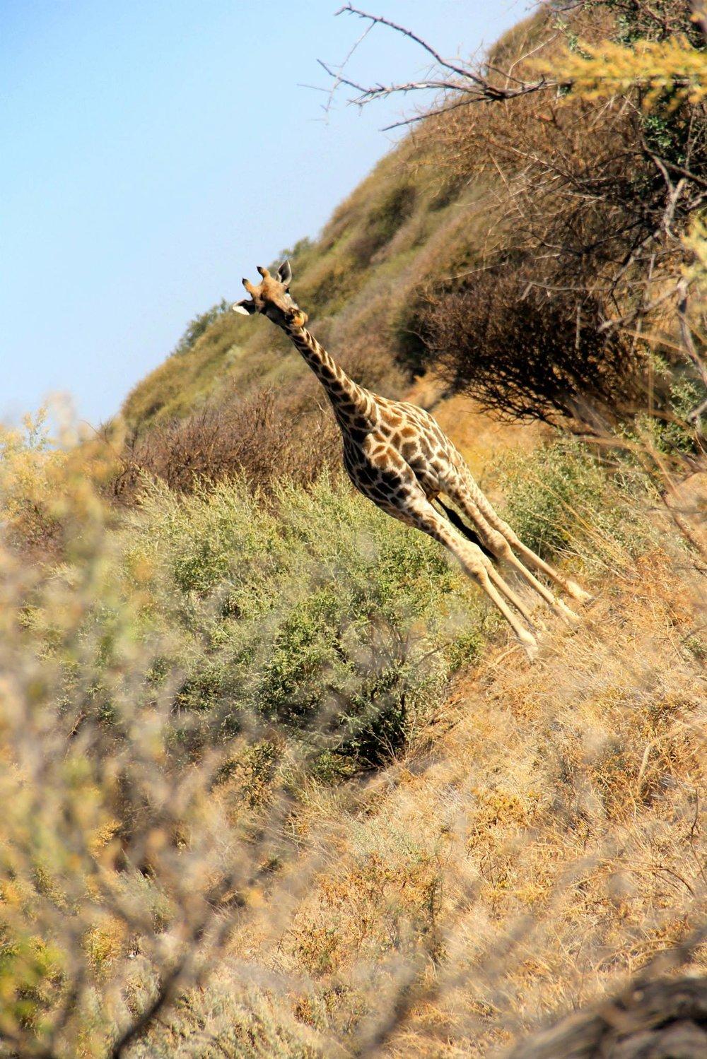 Nameless Giraffe  Namibia, 2013