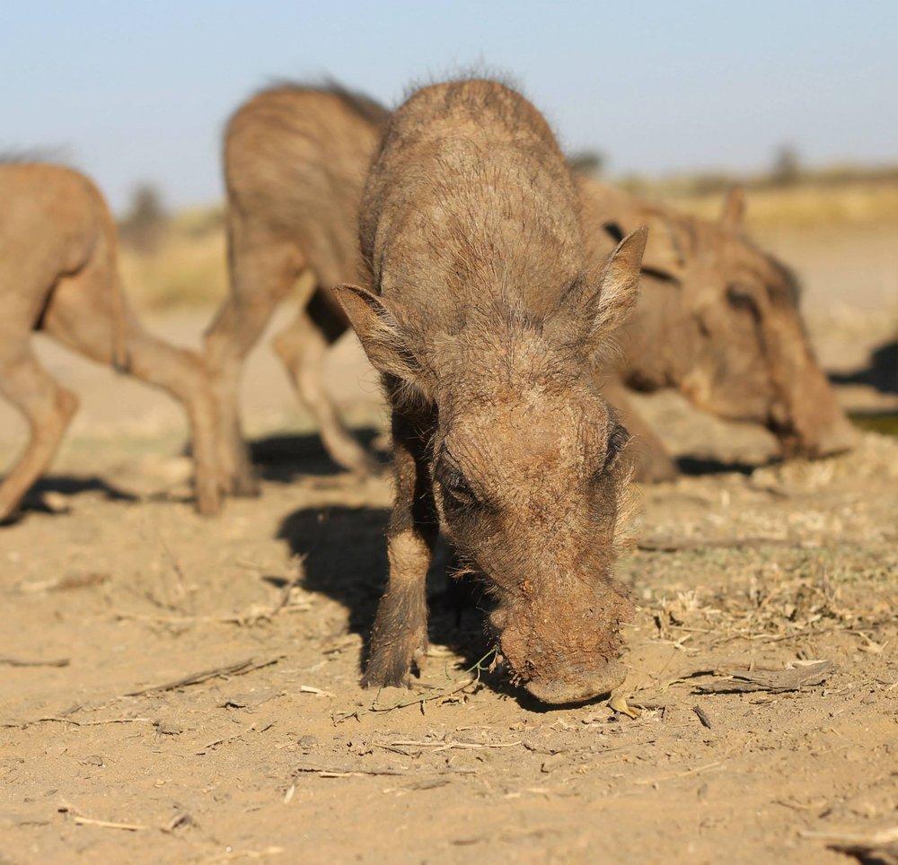Pumba  Namibia, 2013