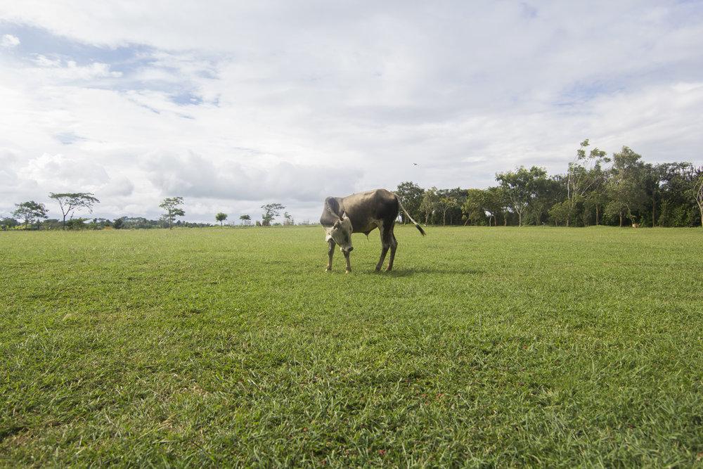 Cattle  Mysore, 2017