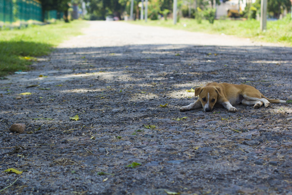 Puppy Envy  Mysore, 2017