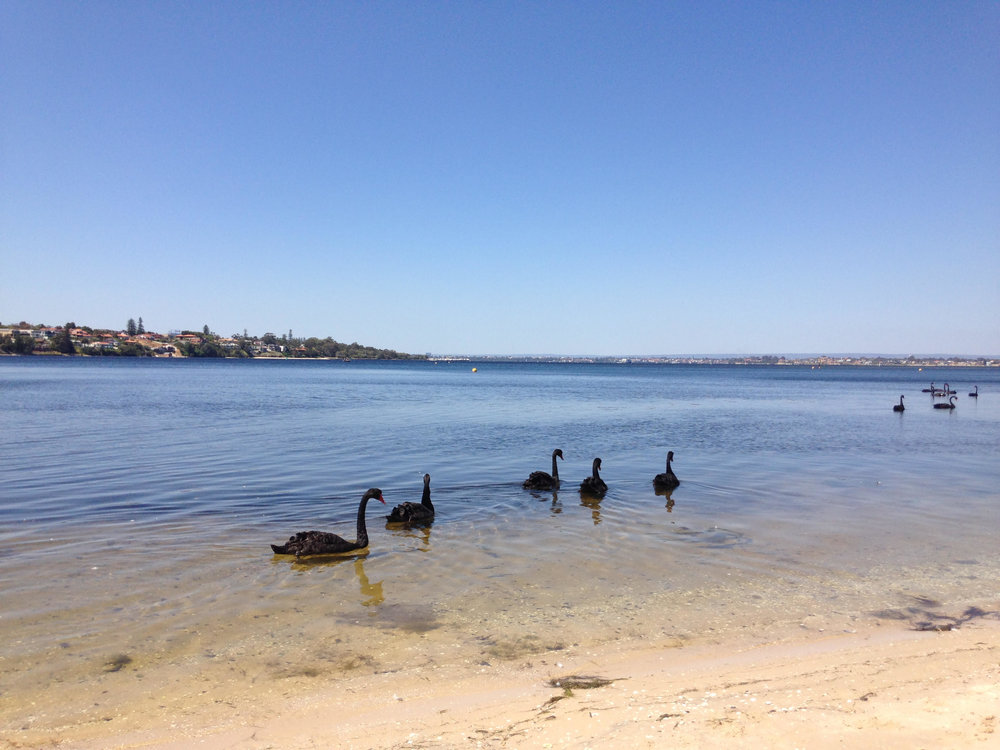 Swans on the Swan River Perth.jpg