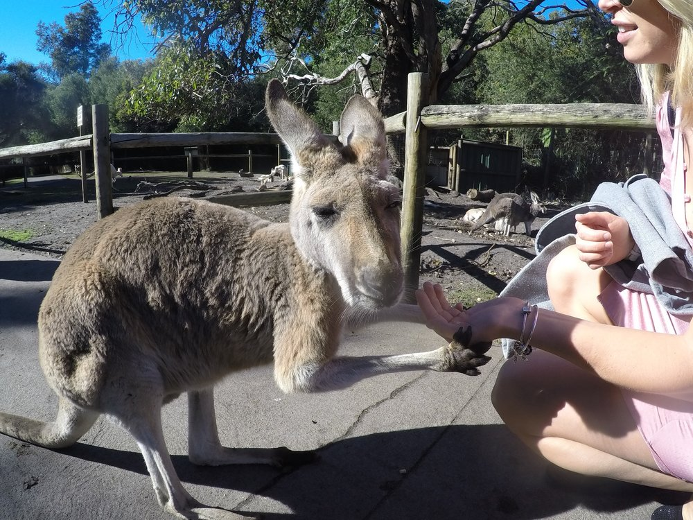 A kangaroo.jpg