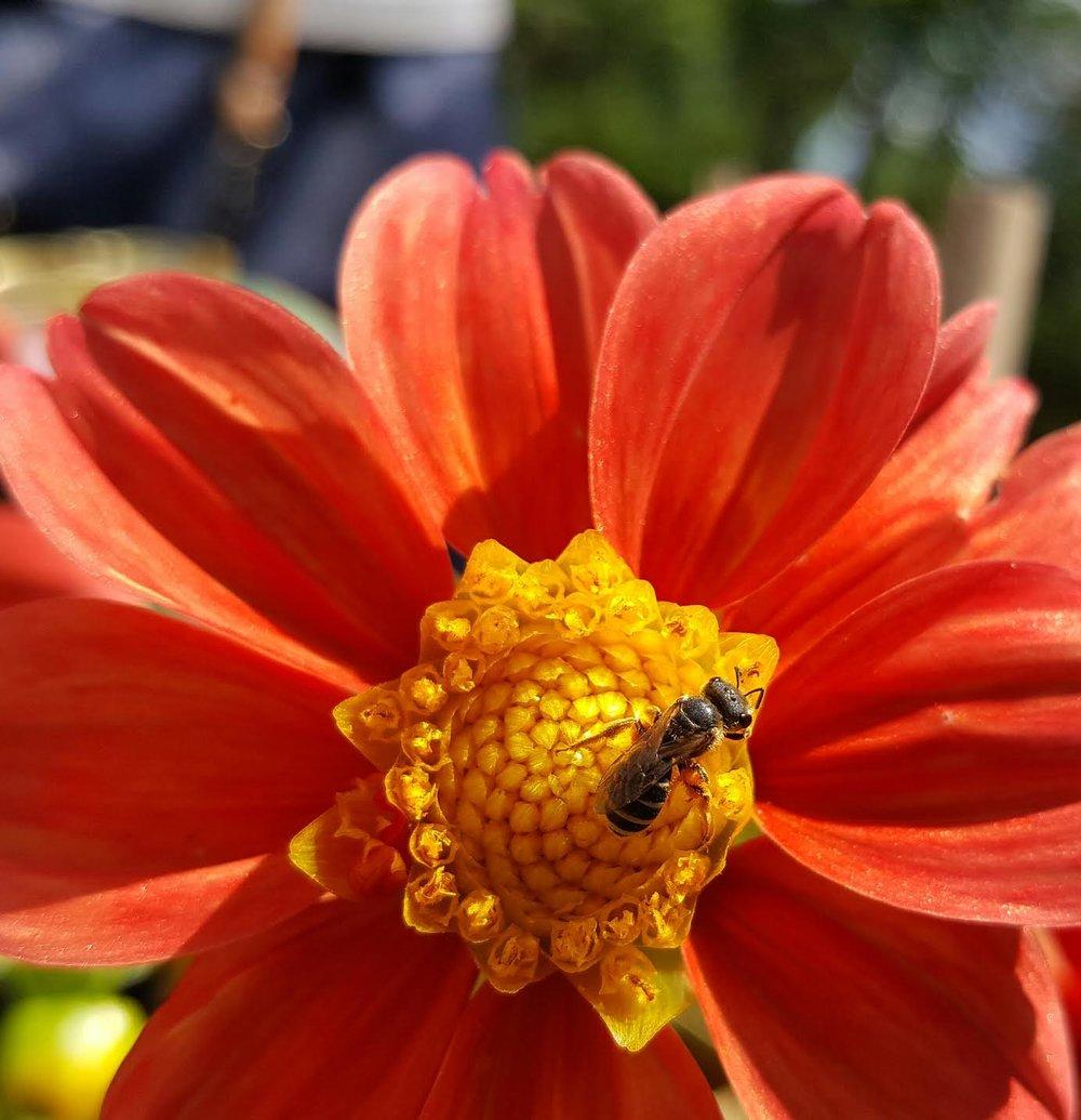 Halictidae on Long Island