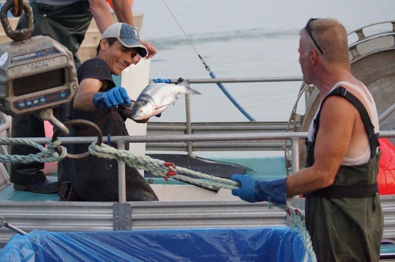 photos-2014-sockeye-salmon-in-steveston-21.jpg