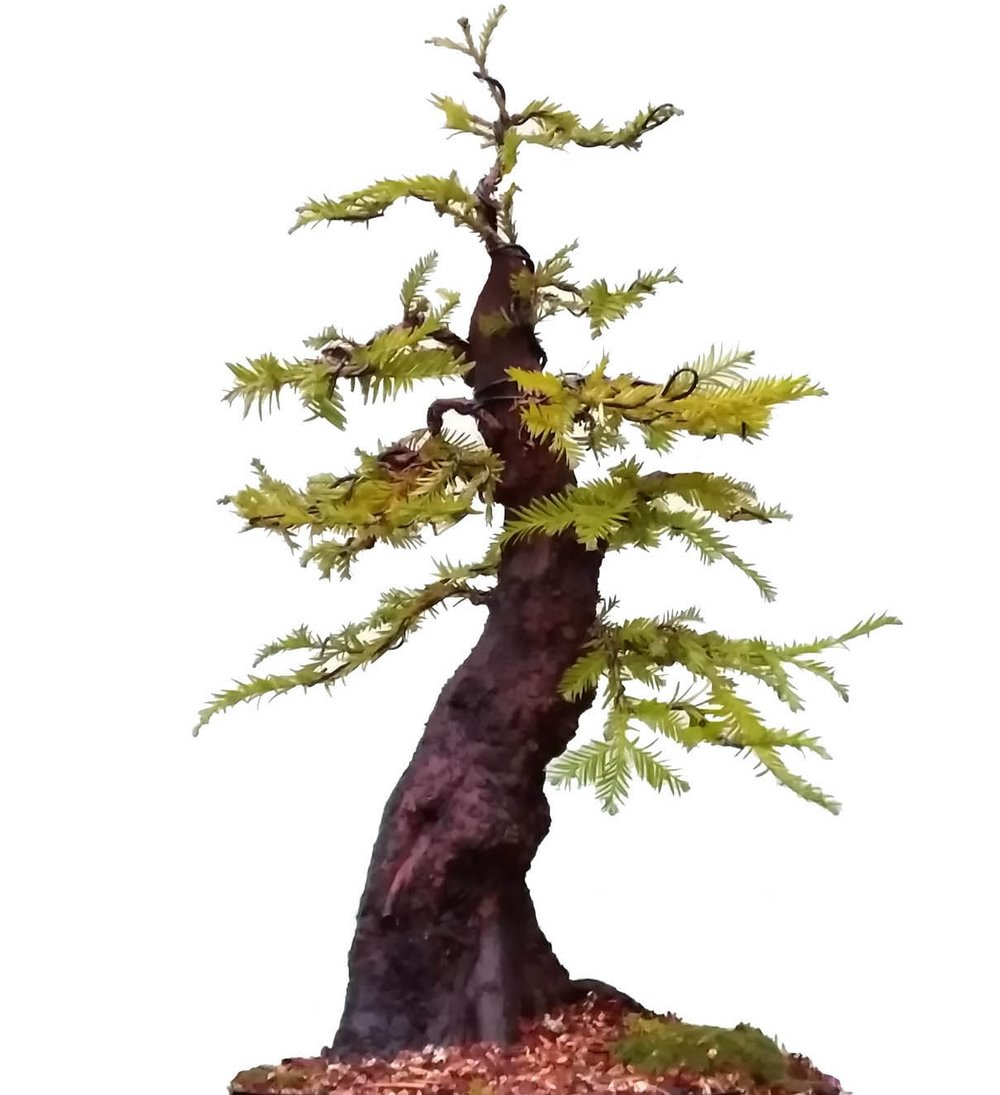 medium redwood yamadori.jpg