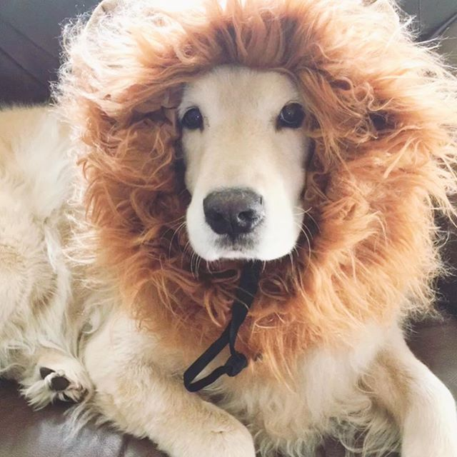 🦁👻 #happyhalloween #crazydoglady #goldensofinstagram