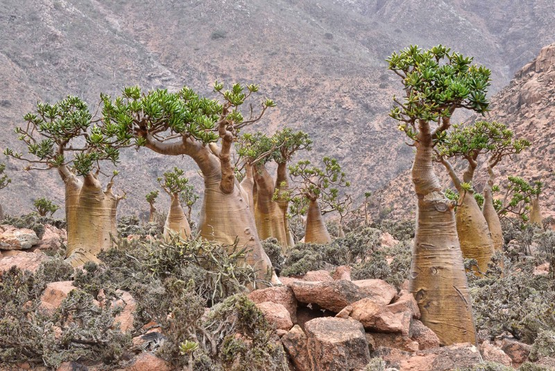 Bottle Trees on Socotra. Source: Flickr