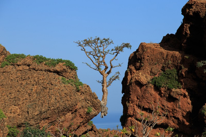Frankincense Tree in Socotra. Source: Flickr