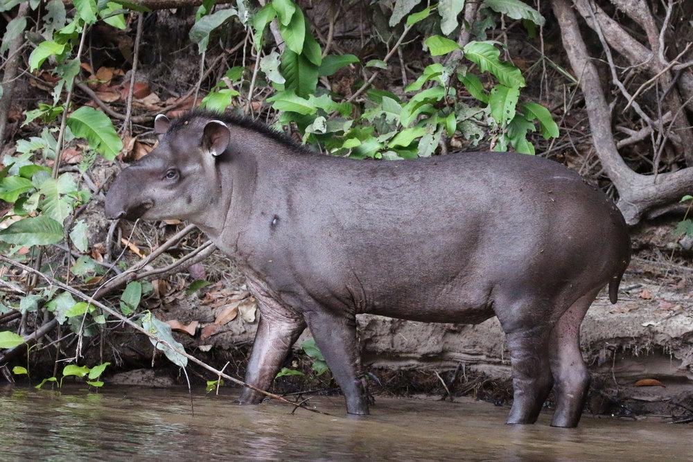 South_American_tapir_(Tapirus_terrestris).jpg