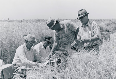 Norman Goetze, OSU; Wilson Foote, OSU; Warren Kronstad, OSU; Scotty Coleader, Amity  Date: circa 1976   Item Notes: Men examining barley in Obergen, Mexico   Collection: Agricultural Experiment Station Photographic Collection (P 29)   Item Number: P29_0081