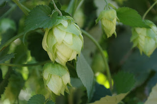 image courtesy Hop Growers of America