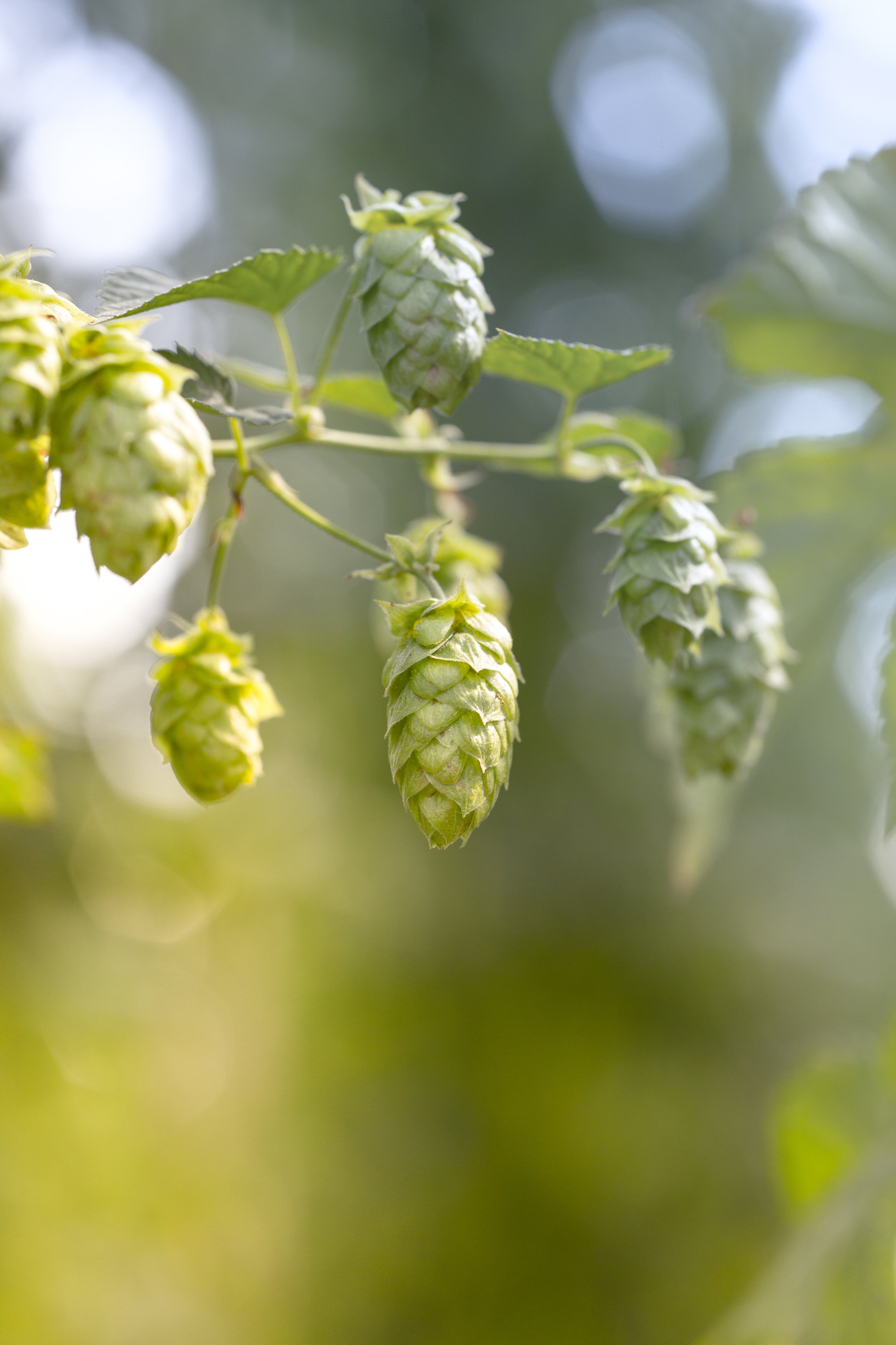 Start your 2019 hop harvest right with our 2019 Guide to