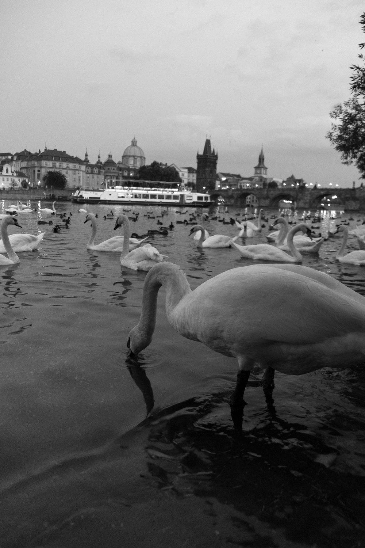 Vltava River Swans , Prague