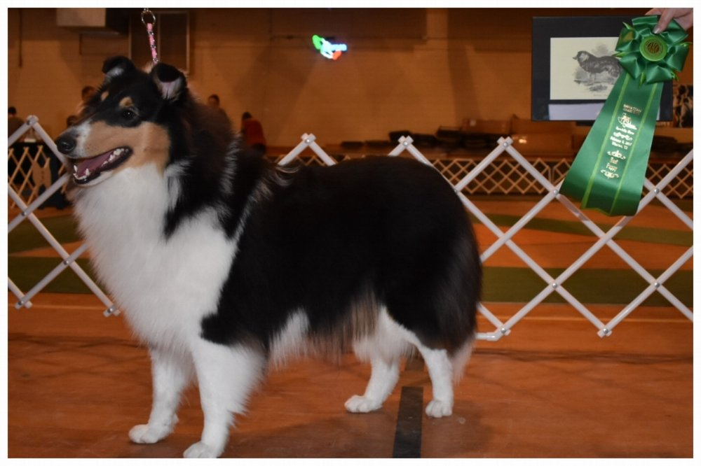 """Commanders Diva in Silk Stockings of JJaed's """"Duchess"""" 10 months old  """"Best Puppy""""  all  4 SHOWS!!    Here very 1st show!!   """"South Texas Collie Specialty Show"""""""