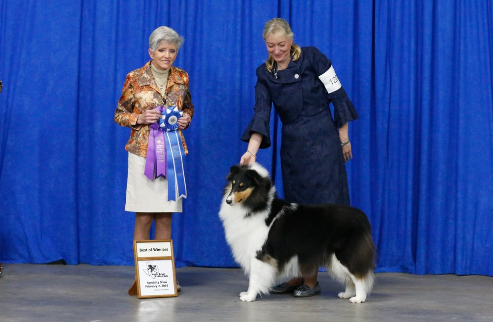 """INT CH  Commanders Diva in Silk Stockings """"Duchess"""" took  WB!!  and  BOW!!  for a """" 4 pt Major""""  at the South Texas and San Antonio Collie Show"""