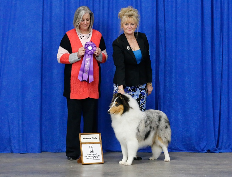 """Clarion Commanders Denim & Diamonds  """"Lexis"""" 6 1/2 months old very 1st show took  WB!!  and  BOW!!  at the South Texas and San Antonio Collie Club - """" 4 pt major """" also took """" Best Puppy """" three times!!]"""