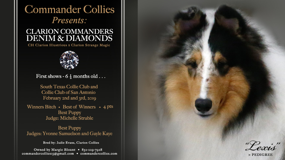"""Very proud of this puppy!!  Clarion Commanders Denim & Diamonds - """"LEXIS"""" her very first show 6 1/2 months old"""
