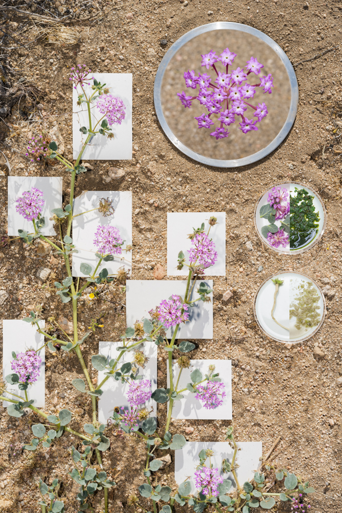 Abronia Villosa, Desert Sand-Verbena