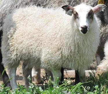 Icelandic ewe