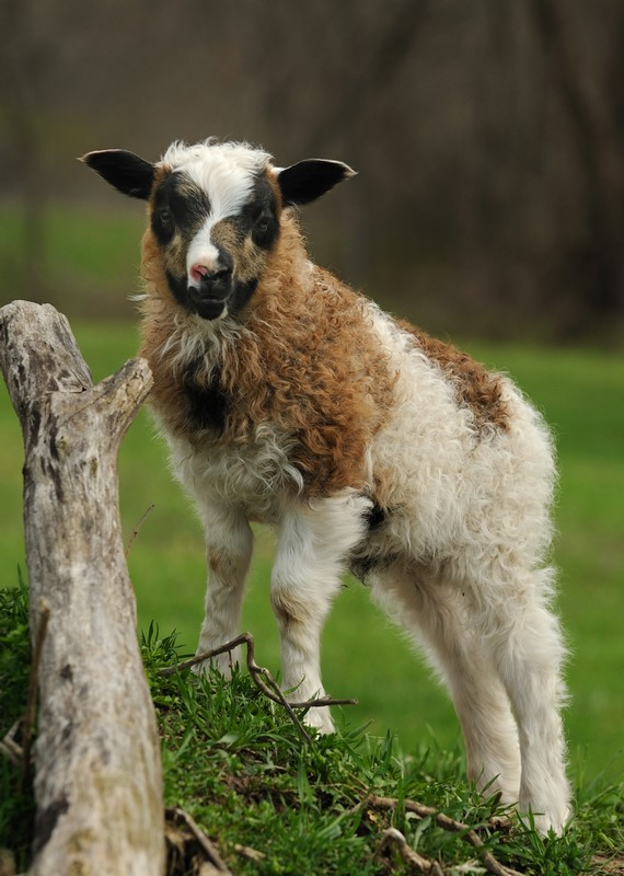 Nova's ram lamb