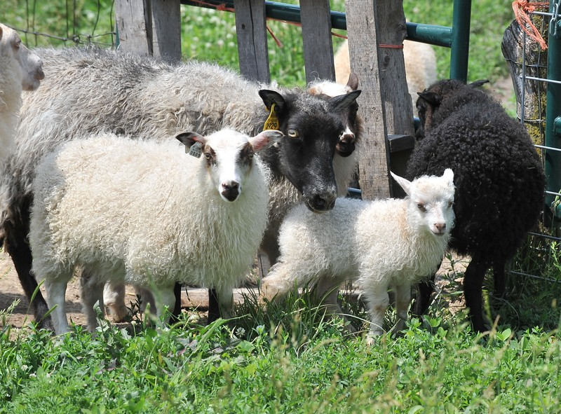 group of ewes and lambs