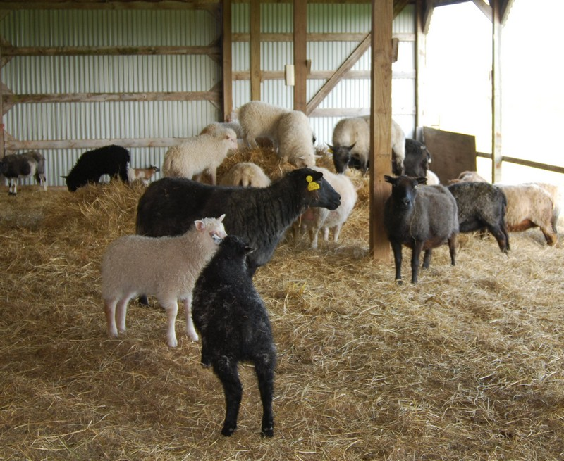 A-Ewes in the barn babies on the hay.jpg