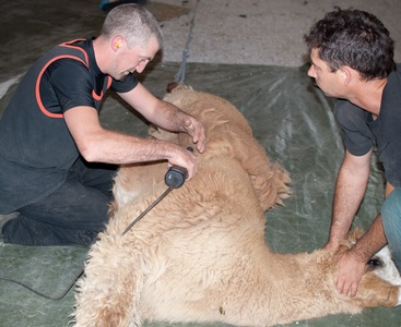 05-shearing the blanket.jpg
