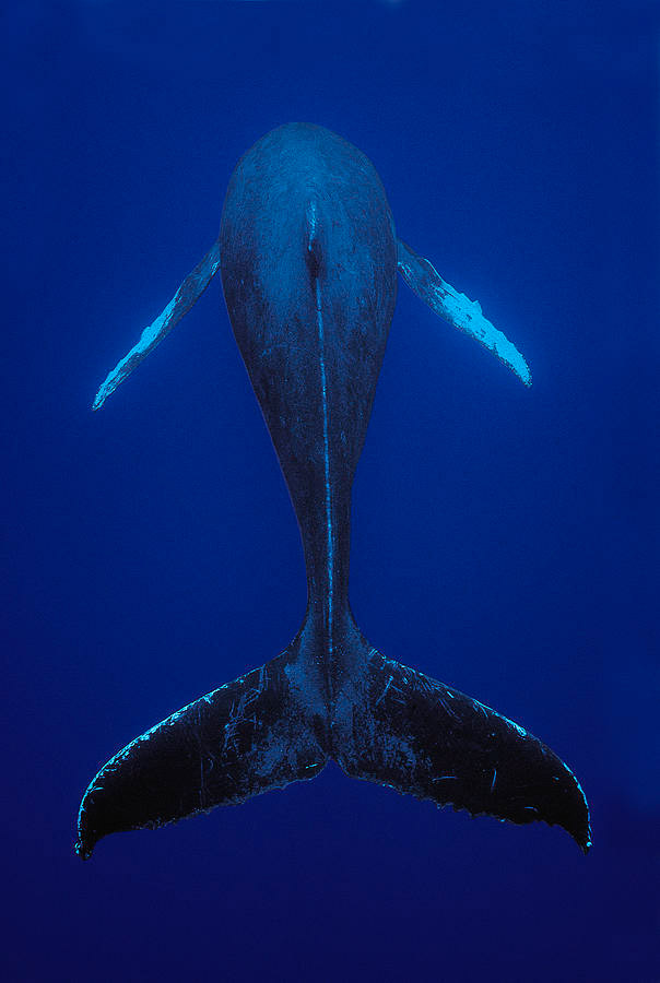 humpback-whale-singing-kona-coast-hawaii-flip-nicklin.jpg