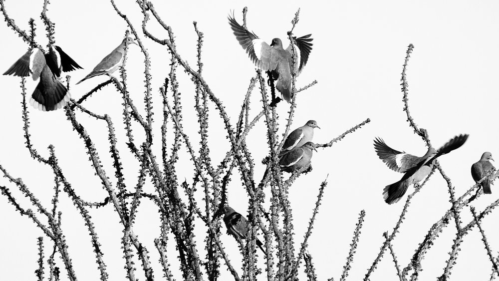 Doves and Ocotillo. First Place B/W. Anza-Borrego Desert Foundation Photo Contest, 2015