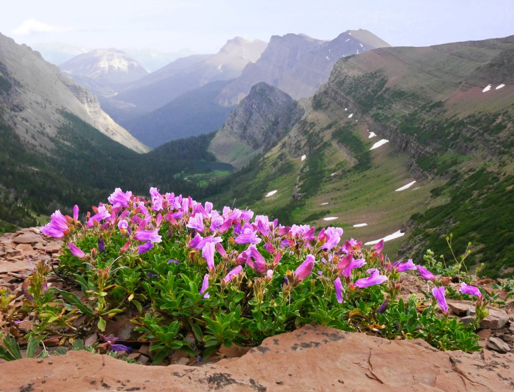 Penstemon  species in Waterton Lakes National Park, Alberta, Canada. Photo: © Ian Wilson