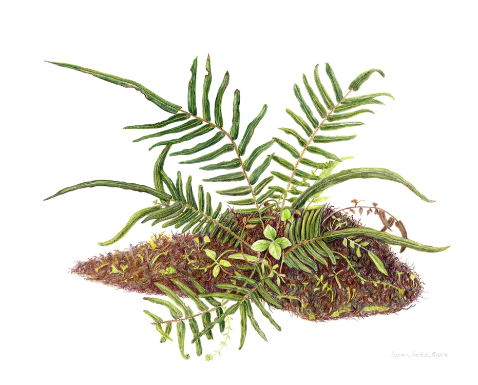 Longleaf Brake, Pteris longifolia, watercolor on paper, ©Susan Parker