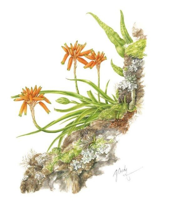 Aloe nubigena, a native plant of South Africa, watercolor on paper, ©Gillian Condy