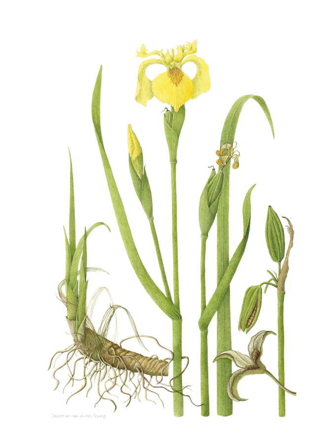 Yellow flag,  Iris pseudacorus , watercolor on paper, ©Jacomien van Andel-Tromp