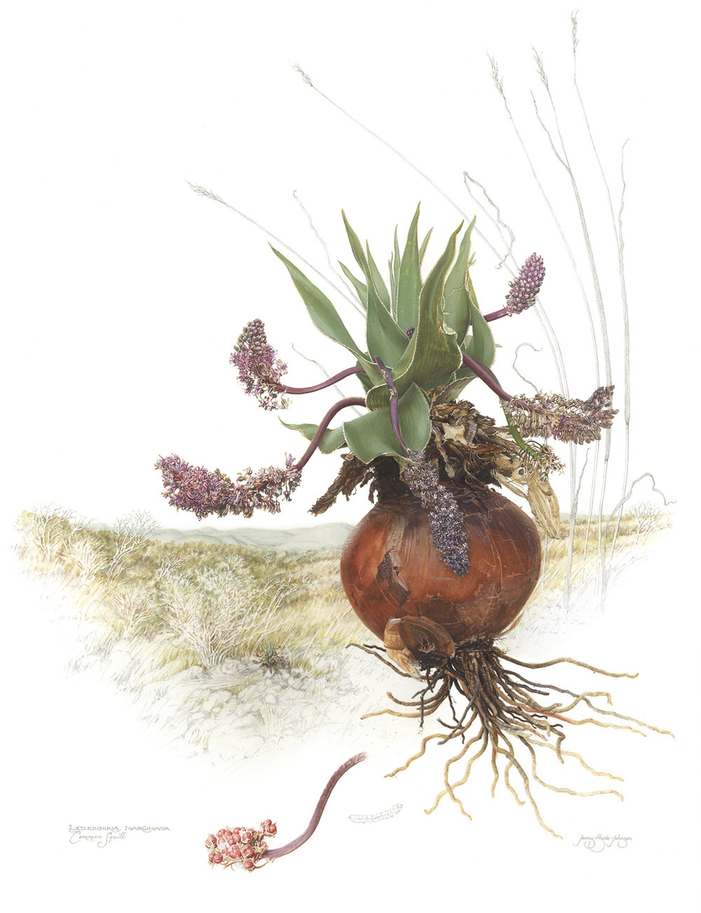 Common Squill,  Ledebouria marginata , watercolor and gouache on paper, ©Jenny Hyde-Johnson.