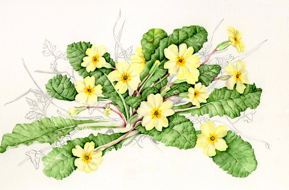 Primrose,  Primula vulgaris , watercolor and graphite on paper, ©Lynn Stringer