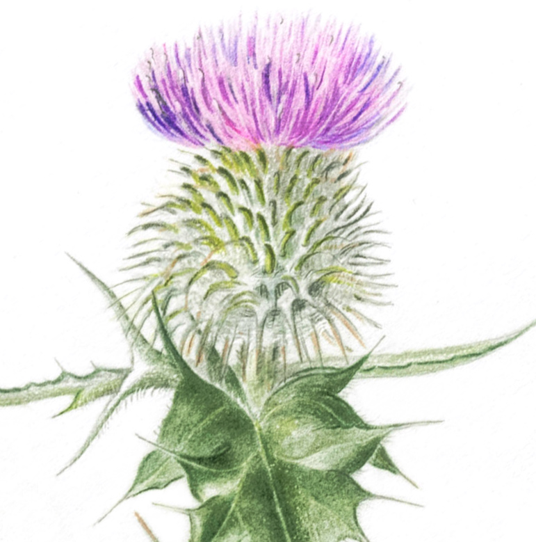 Common thistle, Cirsium vulgare, colored pencil, ©Janet Watson