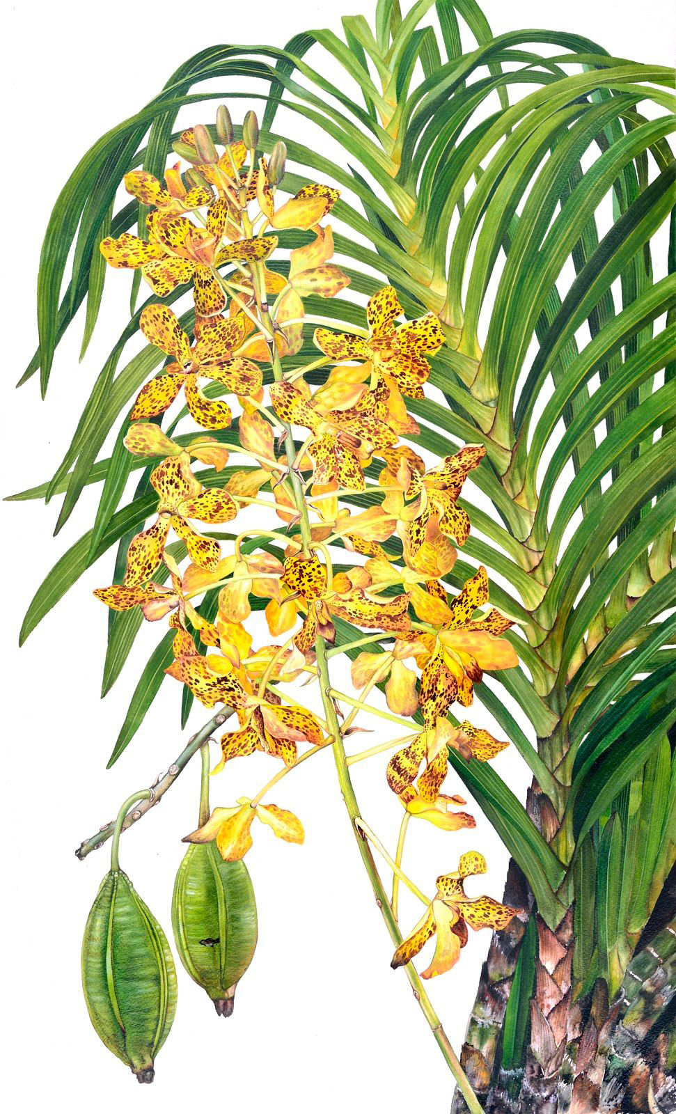 Grammatophyllum speciosum,  watercolor on paper, ©Karyono Apic 2015