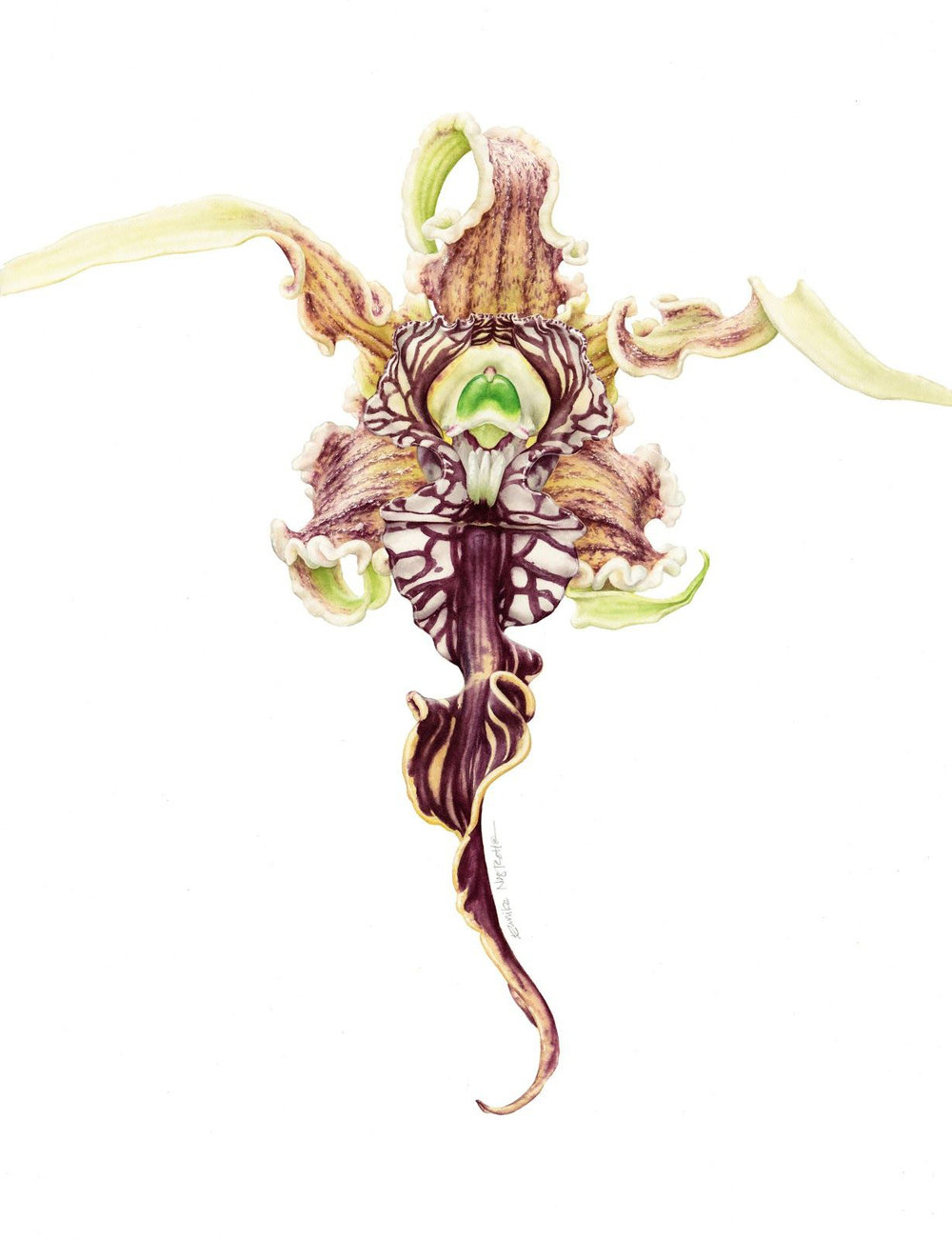 Dendrobium spactabile , watercolor on paper, ©Eunike Nugroho 2015