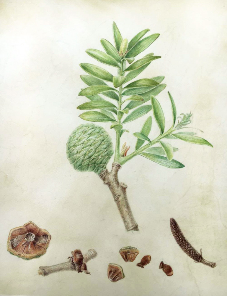 Agathis australis , watercolor on vellum, ©Lesley Alexander Smith