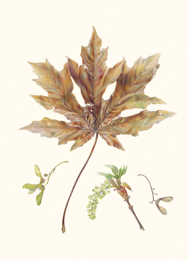 "Bigleaf Maple,  Acer macrophyllum , watercolor on vellum, 26"" x 19"" ©Jean Emmons"