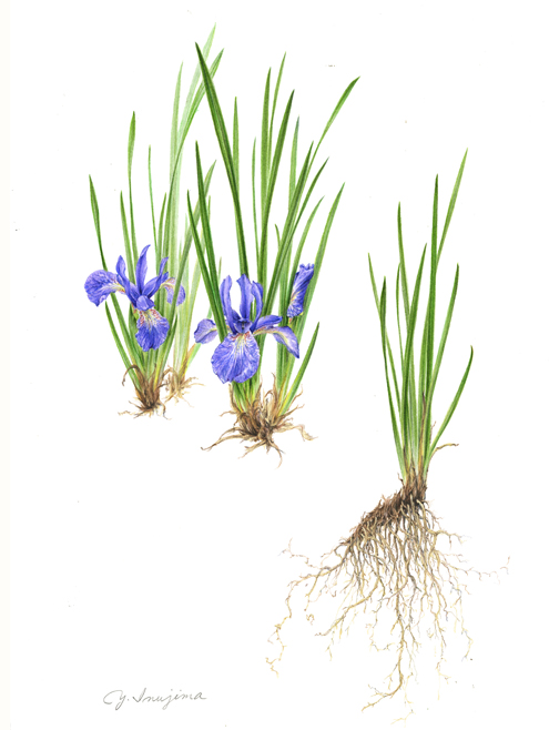Iris sanguine  var.  tobataensis , watercolor on paper, ©Yuko Inujima