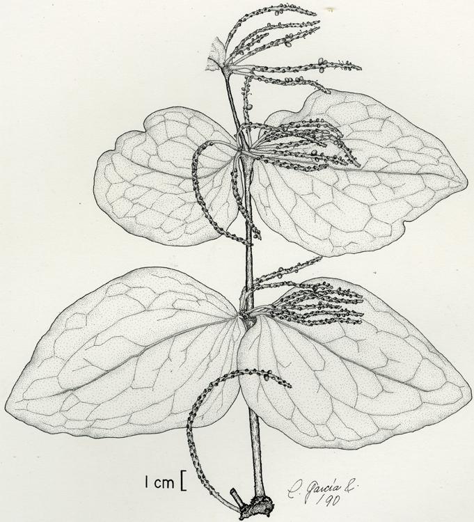 Oryctanthus grandis , ink on paper. © Consuelo García