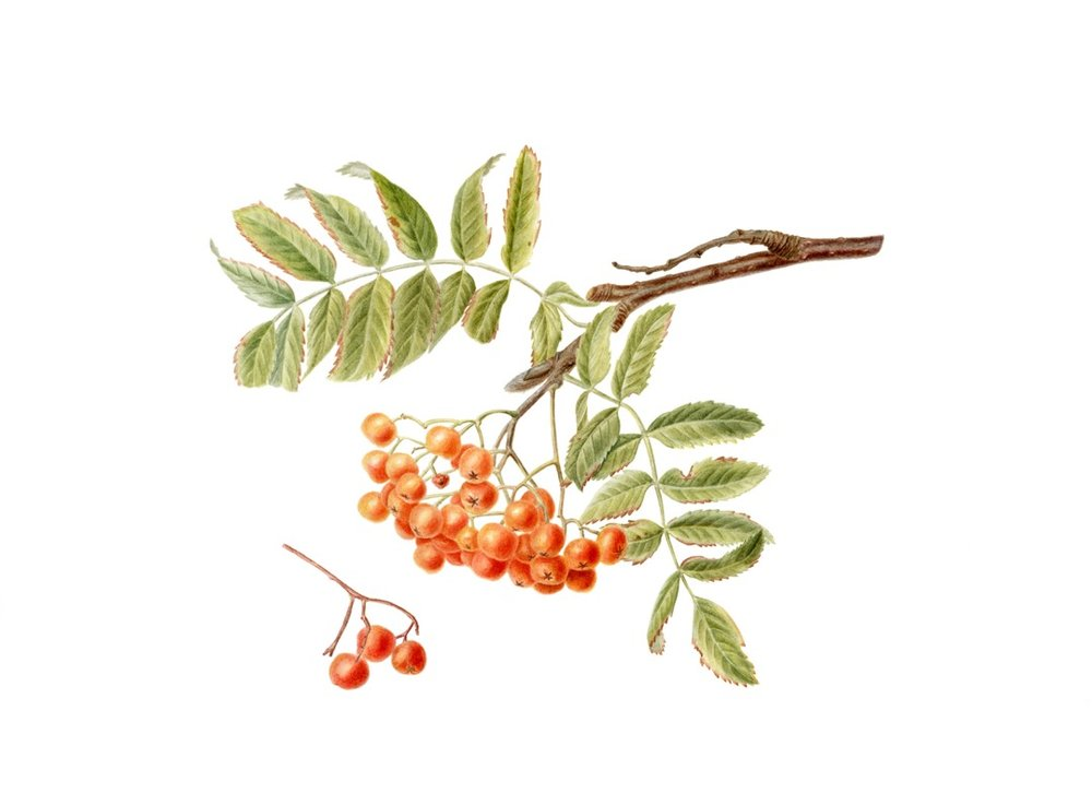Rowan,      Sorbus aucuparia,      watercolor on paper, ©MarinaVoznuk