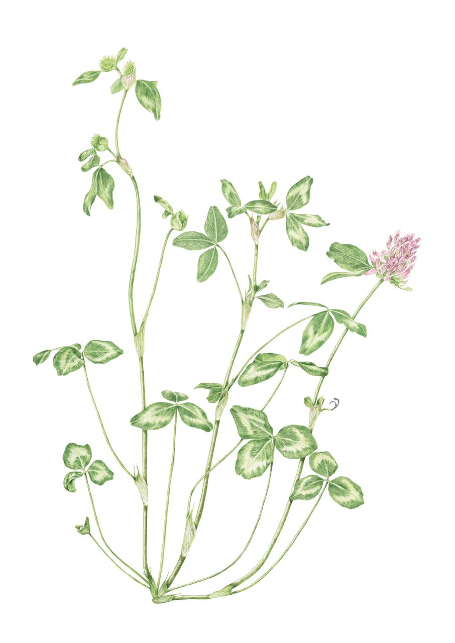 Red Clover,      Trifilium pratense,      watercolor on paper, ©Lisa Chernyavska