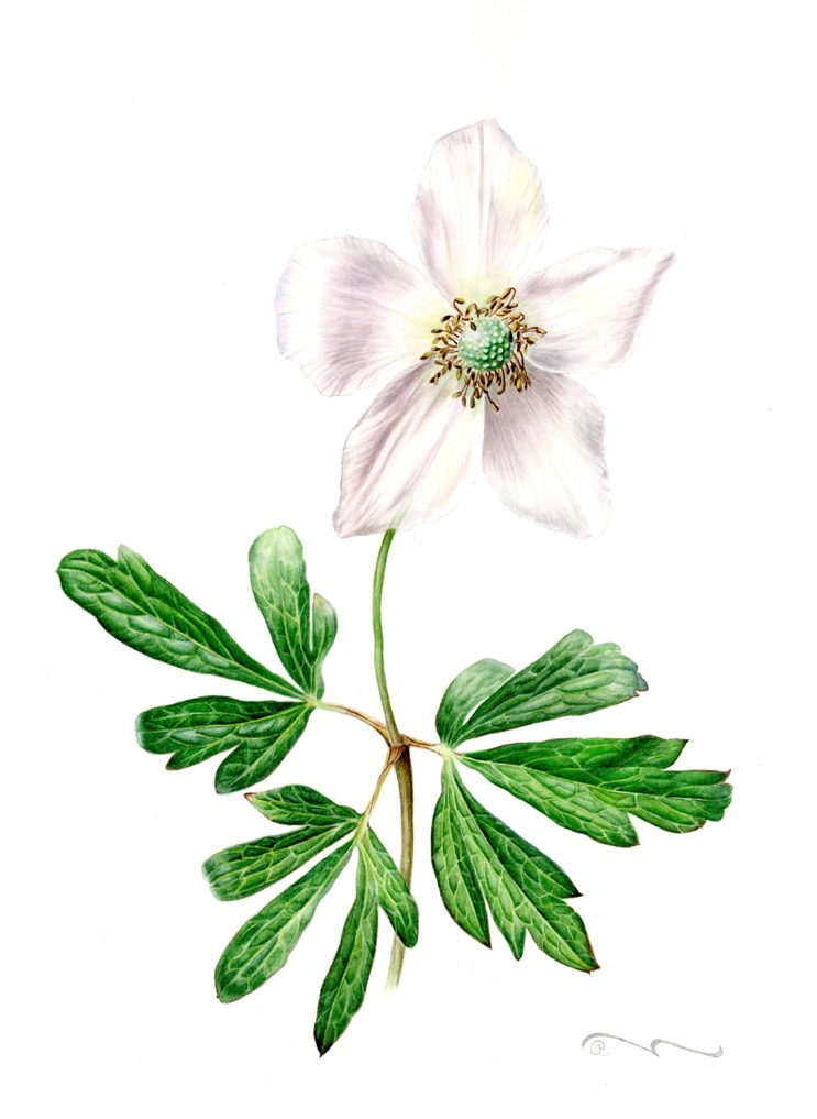 Anemóne sylvéstris   , watercolor on paper,   ©Larisa Chaika