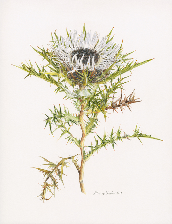 Carlina acaulis , watercolor on paper, © Marina Ubertini